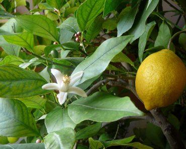 nice yellow lemon tree